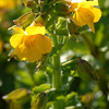 © Joseph Dougherty. All rights reserved.  Seep Monkeyflower (<i>Mimulus guttatus</i> DC.) at Point Reyes National Seashore