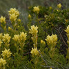 © Joseph Dougherty. All rights reserved.  Wight's Painbrush (<i>Castilleja wightii</i>), also known as Seaside Paintbrush, is variably considered a unique species by some taxonomists, or a subspecies of C. affinis by others:  Castilleja affinis Hook. & Arn. ssp. litoralis (Pennell) T.I. Chuang & Heckard