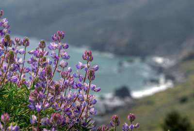© Joseph Dougherty. All rights reserved.  Lupine in full bloom above the rocky California shoreline.