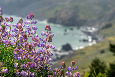 © Joseph Dougherty. All rights reserved.  Blooming lupine at Muir Beach Overlook.