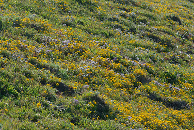 © Joseph Dougherty. All rights reserved.  Fields filled with Johnny-Tuck and Goldfields at Point Reyes National Seashore