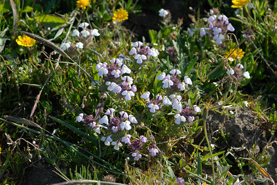 © Joseph Dougherty. All rights reserved.  Johnny-Tuck (Triphysaria eriantha  (Benth.) T.I. Chuang & Heckard) at Point Reyes National Seashore