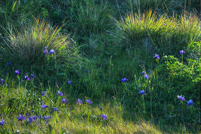 © Joseph Dougherty. All rights reserved.  Fields of Douglas Iris scattered among the grasses and other wildflowers.