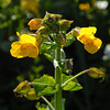 © Joseph Dougherty. All rights reserved.  Seep Monkeyflower (<i>Mimulus guttatus</i> DC.)