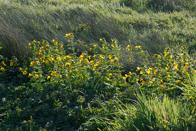 © Joseph Dougherty. All rights reserved.  Seep Monkeyflower (Mimulus guttatus DC.) at Point Reyes National Seashore