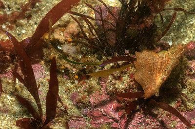 © Joseph Dougherty. All rights reserved.   Can you see the Decorator Crab?