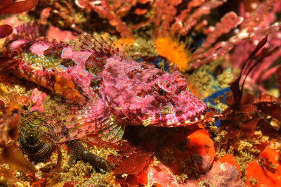 © Joseph Dougherty. All rights reserved.     Artedius corallinus     (Hubbs, 1926) Coralline Sculpin   Distribution:   Eastern Pacific: Orcas Island in Washington, USA to northern central Baja California, Mexico.  Synonyms:   - Allartedius corallinus  Hubbs, 1926
