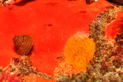 © Joseph Dougherty. All rights reserved.     Calliostoma canaliculatum     (Lightfoot, 1786) crawling on orange sponge, next to  Peltodoris nobilis   (MacFarland, 1905)   Channeled Top Snail crawling on an orange sponge, next to a Sea Lemon nudibranch