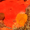 © Joseph Dougherty. All rights reserved.   <font size=5><i>  Calliostoma canaliculatum  </i> </font>  (Lightfoot, 1786) crawling on orange sponge, next to <font size=5><i> Peltodoris nobilis </i> </font> (MacFarland, 1905)   <font size=3>Channeled Top Snail crawling on an orange sponge, next to a Sea Lemon nudibranch </font>