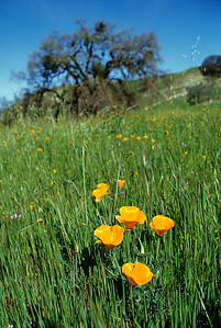 © Joseph Dougherty. All rights reserved.   Eschscholzia californica Cham. California Poppy  Poppies in a grassy field.  Old Mines Road, Livermore, Contra Costa County.