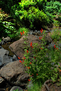 © Joseph Dougherty. All rights reserved.   Scarlet Monkeyflower beside Wildcat Stream, near Lake Anza.
