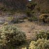 © Joseph Dougherty. All rights reserved.  Teddy-bear cholla (<i>Cylindropuntia bigelovii</i>) and Joshua Trees are interspersed throughout the hills around the Coachella Valley, near Palm Springs, CA.