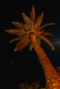© Joseph Dougherty. All rights reserved.   Palm tree at night.