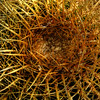 © Joseph Dougherty. All rights reserved. <br /> <br /> The crown of a Golden Barrel Cactus.