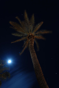 © Joseph Dougherty. All rights reserved.   A full moon shines down on a tall palm tree at night.