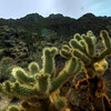 "© Joseph Dougherty. All rights reserved.  <font size=5><i>Cylindropuntia bigelovii</i></font>  (Engelm.) F.M.Knuth <font size=5>Teddy-bear cholla</font>  The plant has a soft appearance due to its solid mass of very formidable spines that completely cover the stems. From a distance, the stems appear soft and fuzzy, giving it the name ""teddy bear"".  The teddy-bear cholla is an erect plant, standing 1 to 5 ft (0.30 to 1.5 m) tall with a distinct trunk. The branches are at the top of the trunk and are nearly horizontal. Lower branches typically fall off, and the trunk darkens with age. The silvery-white spines, which are actually a form of leaf, almost completely obscure the stem with a fuzzy-looking, but impenetrable, defense. The spines are 1 in (2.5 cm) long and are covered with a detachable, paper-like sheath.  The yellow-green flowers of this cactus emerge at the tips of the stems in May and June, and the fruits that follow usually have no viable seed. Flowers are usually 1.375 in (3.49 cm) in length. The fruit is 0.75 in (1.9 cm) in diameter, tuberculate, and may or may not have spines. These cacti produce few seeds, as the plant usually reproduces from dropped stems. These stems are often carried for some distance by sticking to the hair of animals. Often small ""forests"" of these chollas form that are largely clones of one individual."