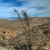 © Joseph Dougherty. All rights reserved. <br /> <br /> Blooming ocotillo