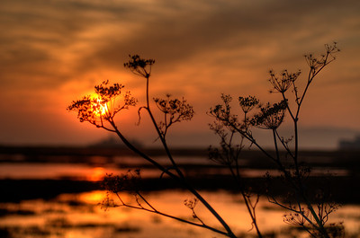 © Joseph Dougherty. All rights reserved.   Herbs silhouetted by the rising sun, beside the waters of the Delta.