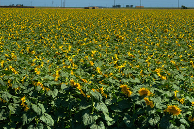 © Joseph Dougherty. All rights reserved.   Sunflower field.  Yolo County, CA.