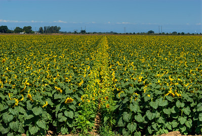 © Joseph Dougherty. All rights reserved.   Yolo County, CA.
