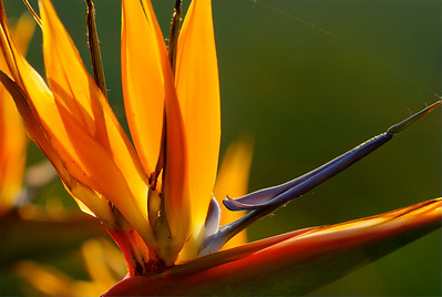 Bird-of-Paradise flower, backlit by the sunrise.