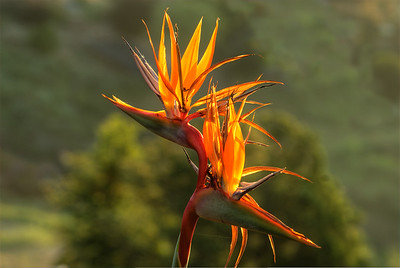 © Joseph Dougherty.  All rights reserved.  Bird-of-Paradise flower, backlit by the sunrise.  Strelitzia reginae is a monocotyledonous flowering plant indigenous to South Africa. Common names include Strelitzia, Crane Flower or Bird of Paradise, though these names are also collectively applied to other species in the genus Strelitzia.