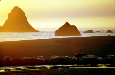 © Joseph Dougherty.  All rights reserved.   Pacific Harbor Seals (Phoca vitulina richardsi) basking in the sunset along the mouth of the Russian River at Goat Rock State Beach, Mendocino Co., CA.