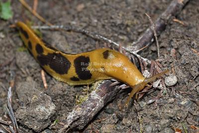 Redwoods Forest Slug