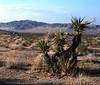 Desert cactus California