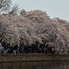 On Sunday afternoon, the sidewalks around the basin were as crowded with people as the branches were crowded with blossoms.