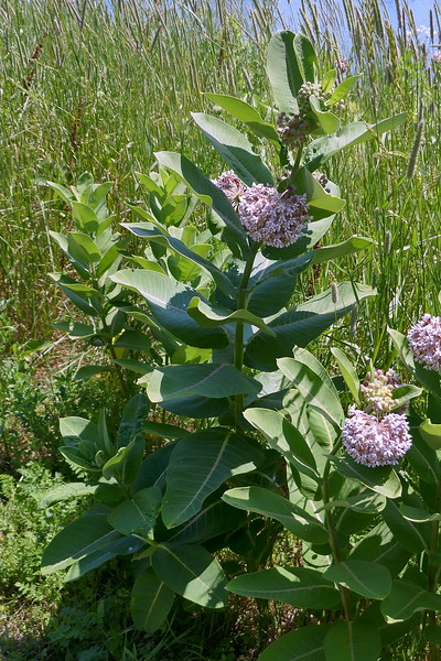 Milkweed - Monarch food