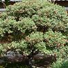 Crataegus ambigua<br /> Russian Hawthorn