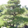The Japanese Garden uses Pinus ponderosa selected from local Rocky Mountain locations.