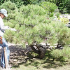 Pruning & cleaning of the Pines is done 3 times a year.