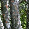 Pinus bungei <br /> Denver Botanic Garden.