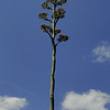 Agave parryi ssp. neomexicana<br /> Denver Botanic Garden.