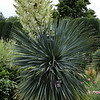 Yucca rostrata<br /> Denver Botanic Garden.