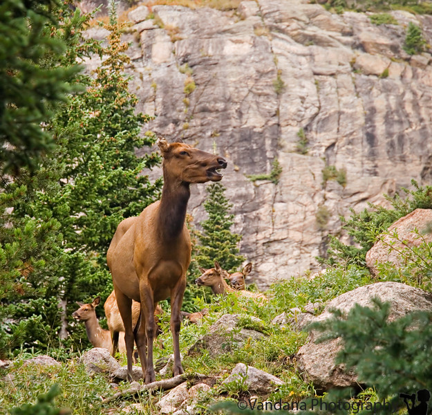 A Elk herd on a trail to Alberta Falls, Rocky Mountain National Park