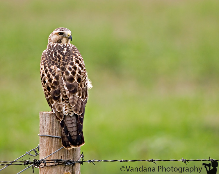 a juvenile hawk ? In Las Vegas National Wildlife Refuge, NM