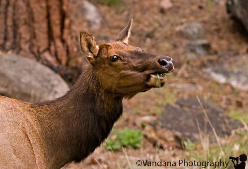 Elk chew, Rocky Mountain National Park