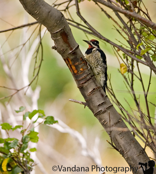 a woodpecker on the Cub lake trail, Rocky Mountain National Park