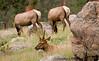Elks, Rocky Mountain National Park -