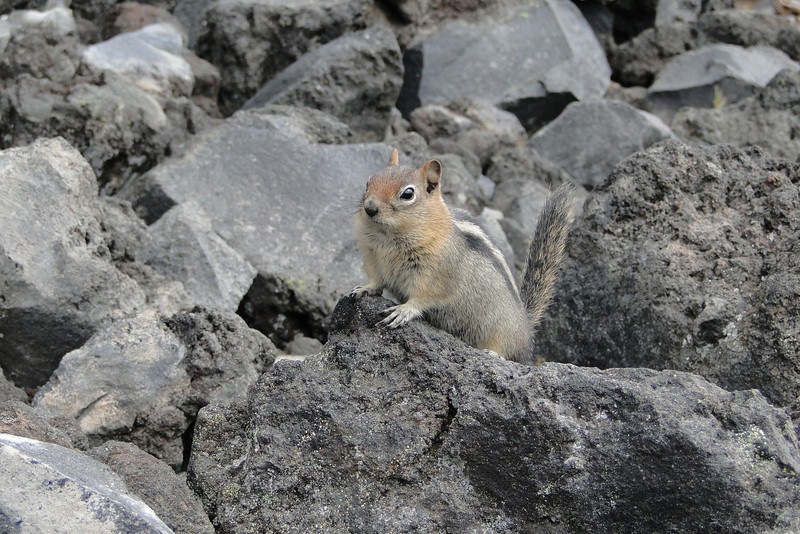 Wizard Island Ground Squirrel