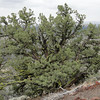 Junipers on the Schonchin Butte Trail.