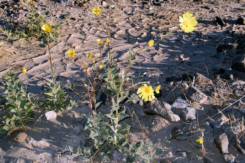 Flowers near Furnace Creek