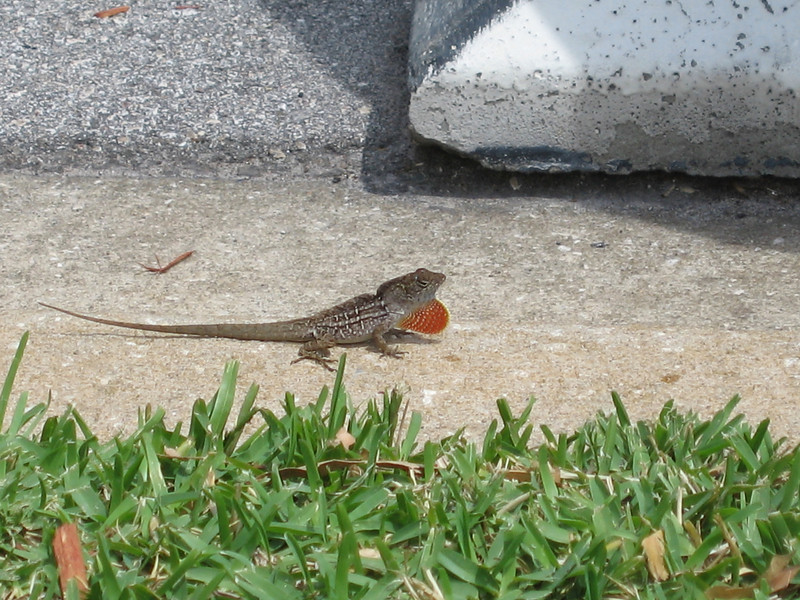 Some funky lizard by the hotel.