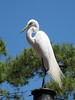 Day 8:  2008-04-16<br /> <br /> Walt Disney Resort - Magic Kingdom; a Great Egret perched on a lamp post in the middle of Frontierland.<br /> <br /> .