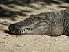 Day 3:  2008-04-11<br /> <br /> Busch Gardens - American Alligator<br /> <br /> .
