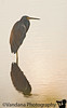 triple-colored heron (?), Viera Wetlands