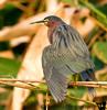 Green Heron, Green Bay wetlands